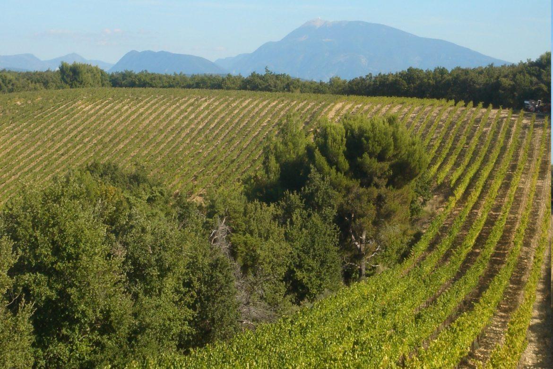 Nouveau pied de vigne à Visan en ces fêtes de fin d'année